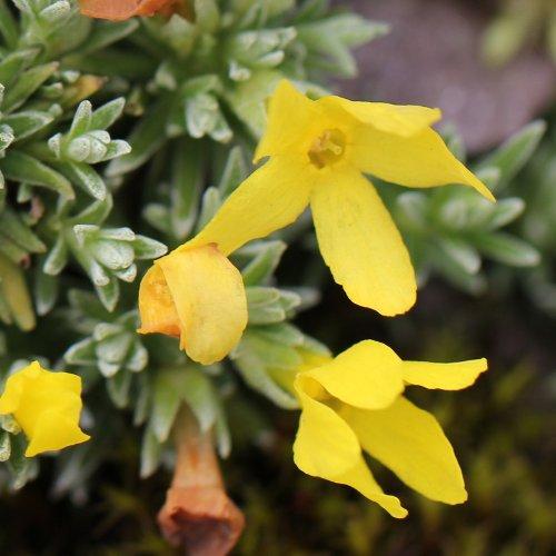Alter Botanischer Garten Stadt Zürich: Goldprimel / Androsace Vitaliana Aus Dem Online-Herbarium