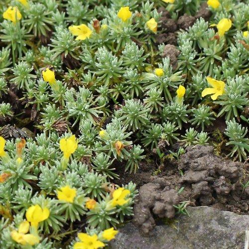 Alter Botanischer Garten Stadt Zürich: Goldprimel / Androsace Vitaliana (Habitus) Aus Dem Online