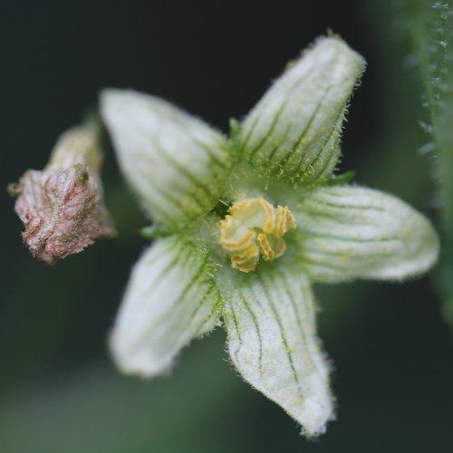 zweih usige zaunr be bryonia dioica aus dem online herbarium von ursula burri. Black Bedroom Furniture Sets. Home Design Ideas