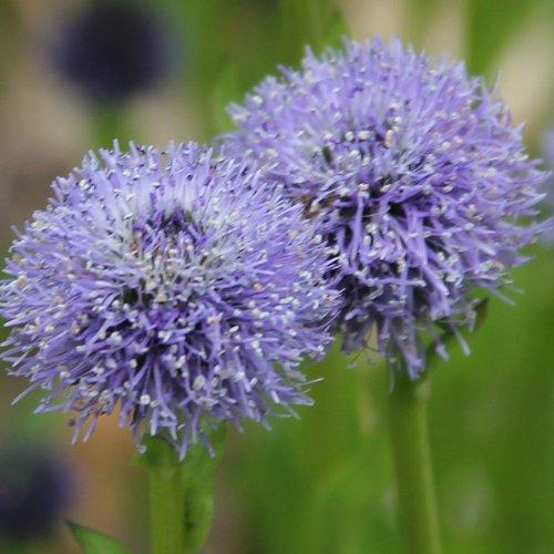 Alter Botanischer Garten Stadt Zürich: Gemeine Kugelblume / Globularia Bisnagarica Aus Dem Online