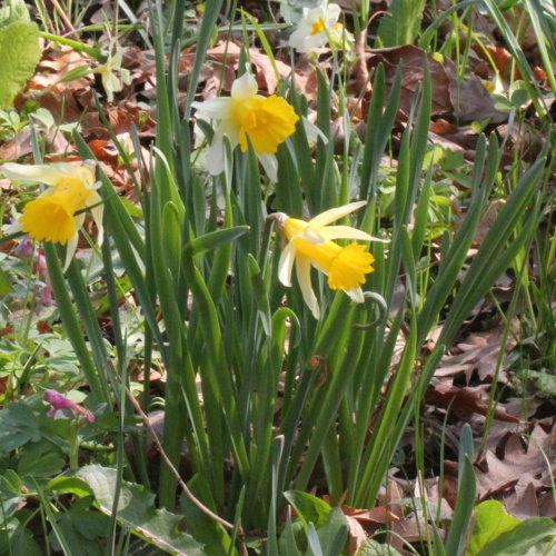Alter Botanischer Garten Stadt Zürich: Osterglocke / Narcissus Pseudonarcissus (Habitus) Aus Dem