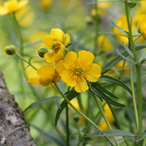 Alter Botanischer Garten Stadt Zürich: Gold-Hahnenfuss / Ranunculus Auricomus (Habitus) Aus Dem