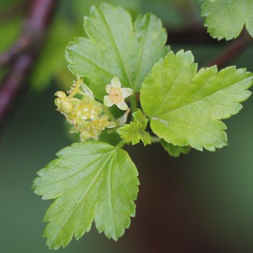 Alpen-Johannisbeere / Ribes alpinum (Blaetter) aus dem Online-Herbarium von Ursula Burri