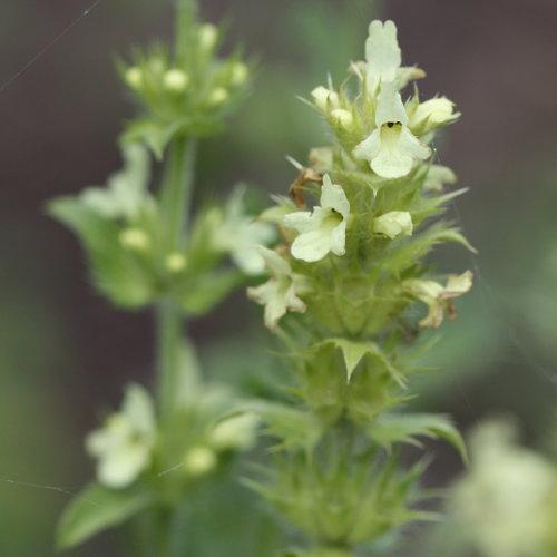 ysopbl ttriges gliedkraut sideritis hyssopifolia aus dem online herbarium von ursula burri. Black Bedroom Furniture Sets. Home Design Ideas